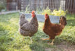 Multistate Outbreaks of Human Salmonella Infections linked to Live Poultry