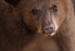 Department cautions campers to be aware of increased bear activity in the Jemez Mountains