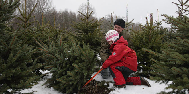 SFNF Cut-Your-Own Christmas Tree Permits On Sale Nov. 25; 4th Graders Can Get One Free